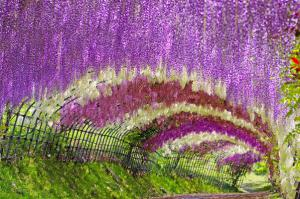 สวยสะพรั่งเมษายนนี้ อุโมงค์ดอกวิสทีเรีย ที่ฟุกุโอกะ ญี่ปุ่น