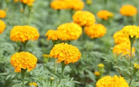 ดาวเรือง ดอกไม้ประจำรัชกาลที่ 9 ดอกไม้ที่วันนี้ทุกคนร่วมใจกันปลูกได้ จากความรักของพวกเราชาวไทยทุกคน