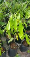 ต้นมะปริงเพาะเมล็ด ต้นละ 60 บาท