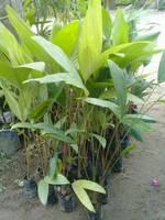 ต้นสละอินโดสายน้ำผึ้ง  70 บาท