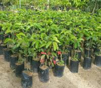 ต้นกระท้อนพันธุ์เขียวหวาน กระท้อนพันธุ์ปุยฝ้าย  90 บาท